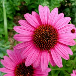 Echinacea - the most popular medicinal plant in the world - Its affects are antibiotic, anti-inflammatory, antioxidant, and it stimulates the immune system.
